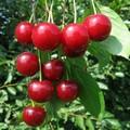 Плодовые крупномеры и саженцы Вишня обыкновенная Десертная Морозовой