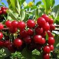 Плодовые крупномеры и саженцы Вишня обыкновенная Харитоновская