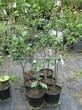 Саженцы и плодовые крупномерные деревья Вишня обыкновенная Харитоновская