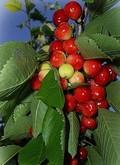 Плодовые крупномеры и саженцы Вишня обыкновенная Куйбышевская ранняя