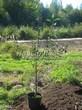 Саженцы и плодовые крупномерные деревья Вишня обыкновенная Куйбышевская ранняя
