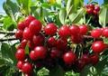 Плодовые крупномеры и саженцы Вишня обыкновенная Любская