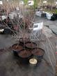 Саженцы и плодовые крупномерные деревья Вишня обыкновенная Любская