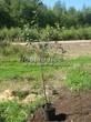 Саженцы и плодовые крупномерные деревья Вишня обыкновенная Малиновка