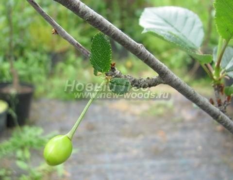 Развивающийся плод (костянка, «ягода») на дереве Вишня обыкновенная сорт Малиновка