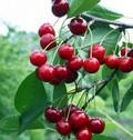 Плодовые крупномеры и саженцы Вишня обыкновенная Молодёжная