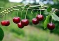Плодовые крупномеры и саженцы Вишня обыкновенная Новелла