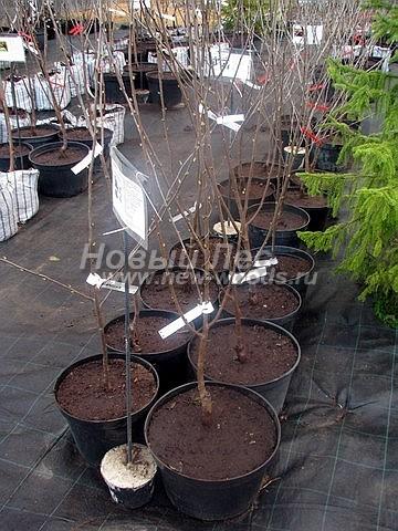 Саженцы плодового дерева Вишня (Дюк) Новелла в нашем питомнике Сады Ясногорья (Тульская область, Ясногорский район)