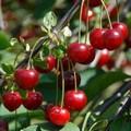 Плодовые крупномеры и саженцы Вишня обыкновенная Прима