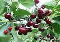 Плодовые крупномеры и саженцы Вишня обыкновенная Шоколадница