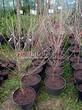 Саженцы и плодовые крупномерные деревья Вишня обыкновенная Тургеневка (Тургеневская)