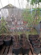 Саженцы и плодовые крупномерные деревья Вишня обыкновенная Владимирская