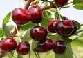Плодовые крупномеры и саженцы Вишня обыкновенная Жуковская