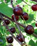 Плодовые крупномеры и саженцы Вишня обыкновенная Гриот россошанский