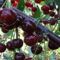 Плодовые крупномеры и саженцы Дюк Ивановна