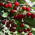 Плодовые крупномеры и саженцы Дюк Игрушка (вишне-черешня, черевишня, вишнёво-черешневый гибрид)