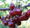 Плодовые крупномеры и саженцы Дюк Ночка (вишне-черешня, черевишня, вишнёво-черешневый гибрид)
