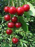 Саженцы и плодовые крупномерные деревья Дюк Саратовская малышка (вишне-черешня, черевишня, вишнёво-черешневый гибрид)