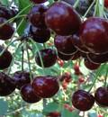 Плодовые крупномеры и саженцы Дюк Спартанка (вишне-черешня, черевишня, вишнёво-черешневый гибрид)