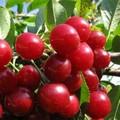Плодовые крупномеры и саженцы Дюк Факел (вишне-черешня, черевишня, вишнёво-черешневый гибрид)