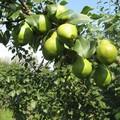 Плодовые крупномеры и саженцы Груша обыкновенная Феерия