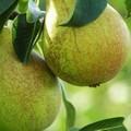 Плодовые крупномеры и саженцы Груша обыкновенная Январская