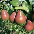 Плодовые крупномеры и саженцы Груша обыкновенная Ника
