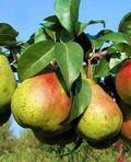 Плодовые крупномеры и саженцы Груша обыкновенная Академическая
