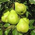 Плодовые крупномеры и саженцы Груша обыкновенная Августовская роса