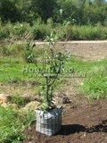 Саженцы и плодовые крупномерные деревья Груша обыкновенная Августовская роса