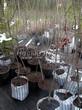 Саженцы и плодовые крупномерные деревья Груша обыкновенная Бере русская