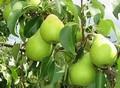 Плодовые крупномеры и саженцы Груша обыкновенная Чижовская