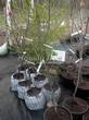 Саженцы и плодовые крупномерные деревья Груша обыкновенная Чижовская (неправильно: Груша Чижевского)