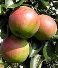 Плодовые крупномеры и саженцы Груша обыкновенная Десертная россошанская
