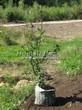 Саженцы и плодовые крупномерные деревья Груша обыкновенная Десертная россошанская