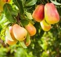 Плодовые крупномеры и саженцы Груша обыкновенная Дюшес