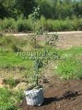 Саженцы и плодовые крупномерные деревья Груша обыкновенная Гера