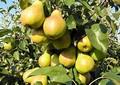 Плодовые крупномеры и саженцы Груша обыкновенная Лада