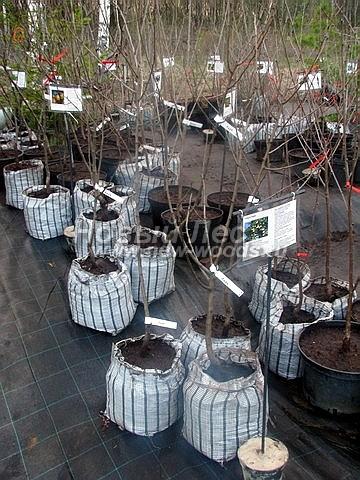 Саженцы плодового дерева Груша обыкновенная Лада на торговой площадке садового центра (Московская область, Мытищинский район)
