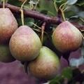 Плодовые крупномеры и саженцы Груша обыкновенная Мраморная