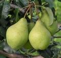 Плодовые крупномеры и саженцы Груша обыкновенная Орловская летняя