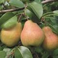 Плодовые крупномеры и саженцы Груша обыкновенная Велеса (Дочь Отличной)