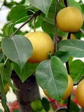 Плодовые крупномеры и саженцы Груша уссурийская