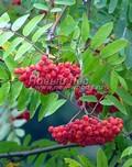 Плодовые крупномеры и саженцы Рябина обыкновенная (Sorbus aucuparia)
