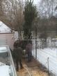 Проект озеленения территории возле загородного дома в Московской области (этап первый - посадка крупномеров сосны обыкновенной): установка дерева высотой 6 метров в посадочную яму