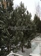 Проект озеленения территории возле загородного дома в Московской области (этап первый - посадка крупномеров сосны обыкновенной): сосна замечательно выполнит функции живой изгороди возле дома