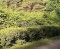 Стриженая живая изгородь из хвойных растений Ель обыкновенная (Picea abies)