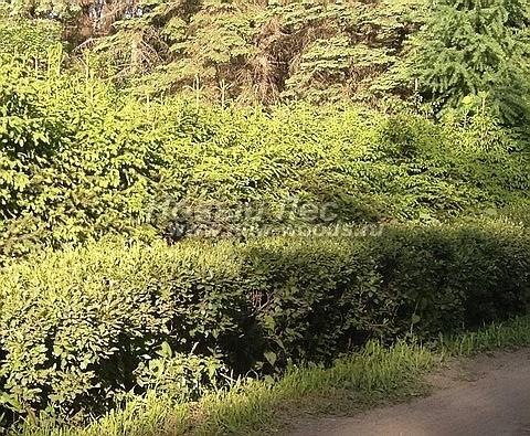 Живая изгородь из хвойных растений Ель обыкновенная (Picea abies)