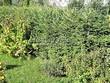 Живая изгородь из хвойных растений Ель обыкновенная (Picea abies) - 101