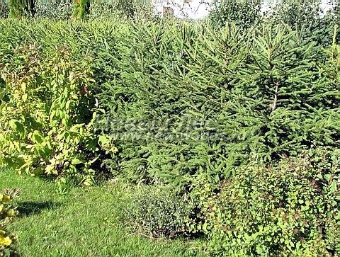 Живые изгороди: молодая изгородь из Ели обыкновенной (высота 1 метр, Тульская область)